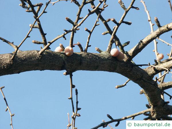 Ginkgo (Ginkgo biloba) Frucht im Winter