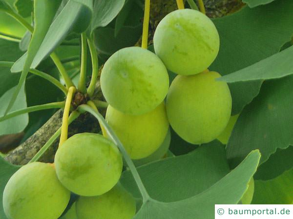Ginkgo (Ginkgo biloba) Früchte im Sommer