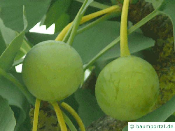 Ginkgo (Ginkgo biloba) Früchte