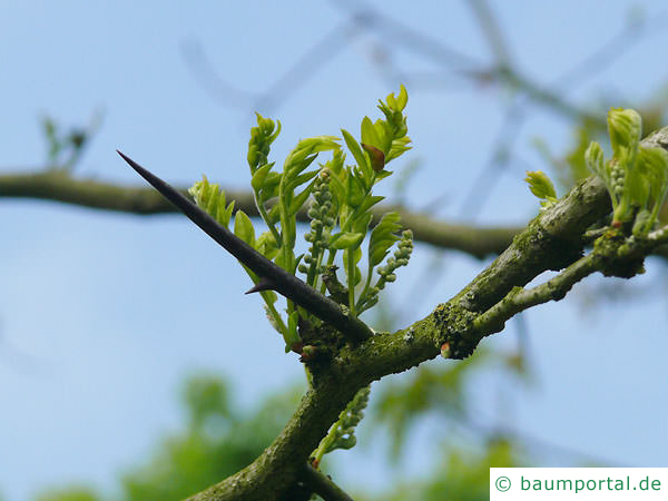 Gleditschie (Gleditsia triacanthos) Austrieb