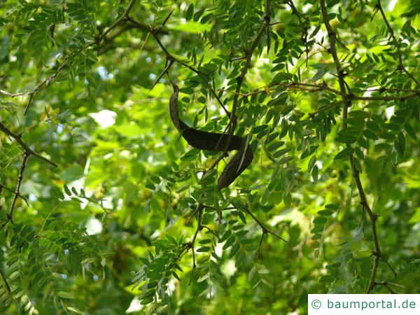 Gleditschie (Gleditsia triacanthos) Blätter