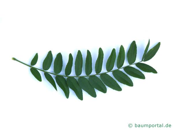 Gleditschie (Gleditsia triacanthos) Blatt