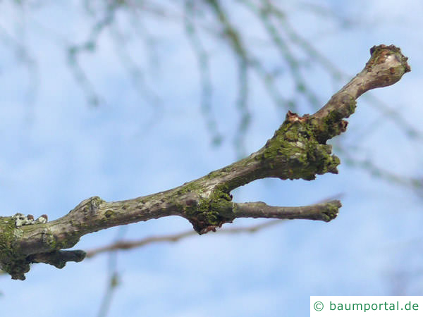 Gleditschie (Gleditsia triacanthos) Endknospe