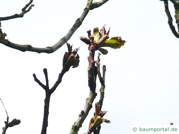 Götterbaum (Ailanthus altissima) Austrieb