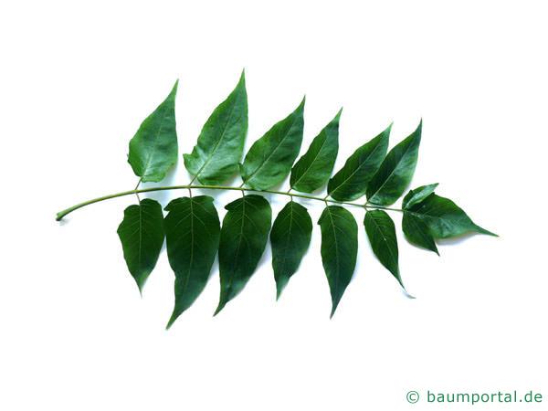 Götterbaum (Ailanthus altissima) Blatt