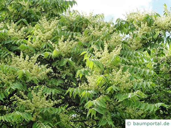 Götterbaum (Ailanthus altissima) Blüten
