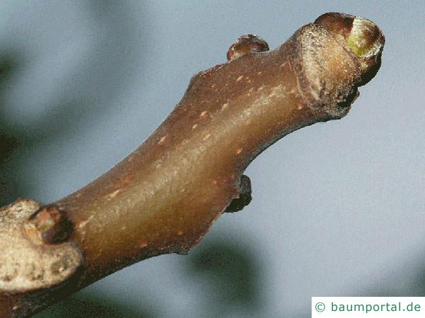 Götterbaum (Ailanthus altissima) Endknospe