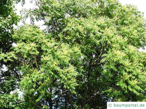 Götterbaum (Ailanthus altissima) Krone mit Laub