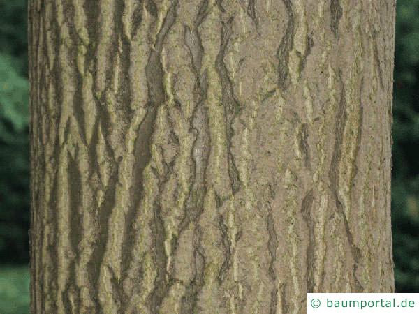 Götterbaum (Ailanthus altissima) Stamm