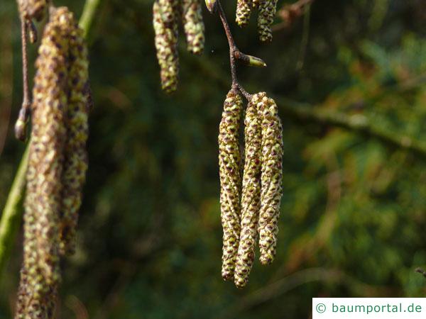 Gold-Birke (Betula ermanii) Blüte im Frühjahr