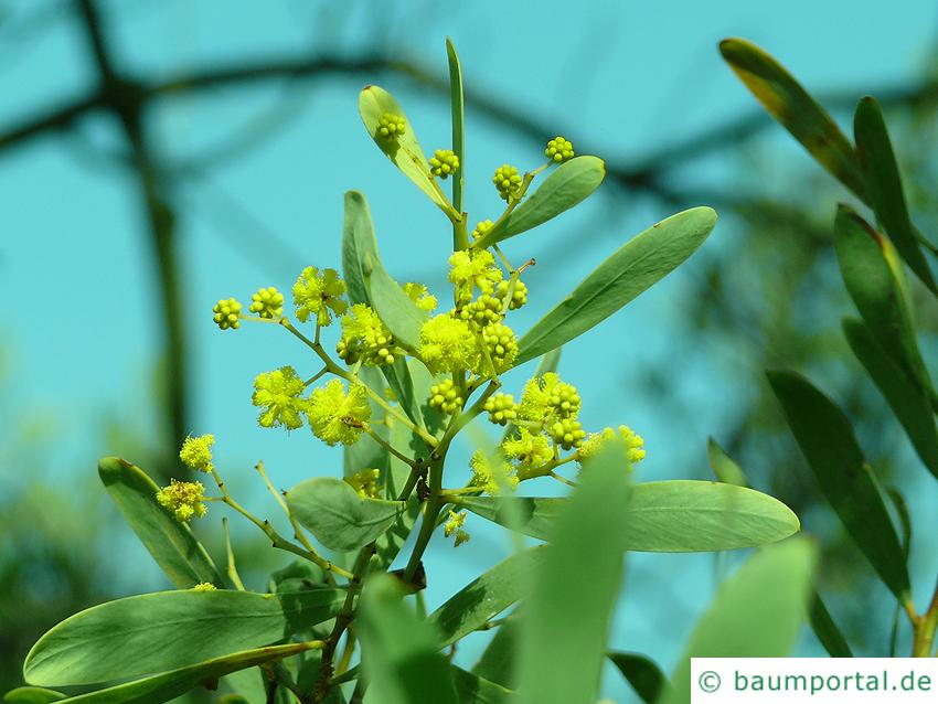 graue Mulga-Akazie (Acacia brachybotrya) Bluete