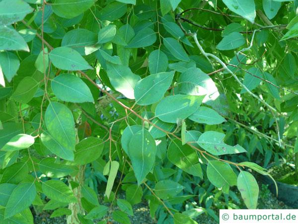 Grauer Eisenholz-Eukalyptus (Eucalyptus paniculata) Blätter