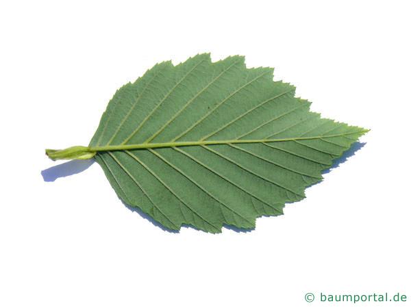 Grau-Erle (Alnus incana) Blattunterseite