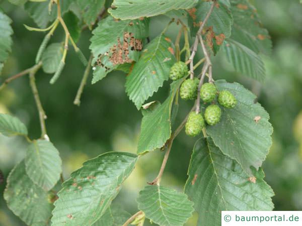 Grau-Erle (Alnus incana) Frucht Zapfen