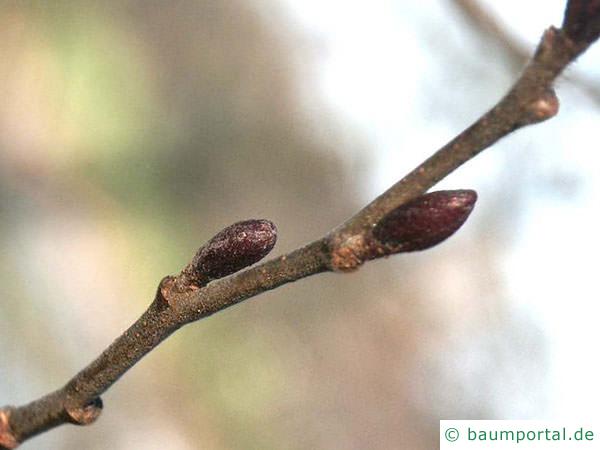 Grau-Erle (Alnus incana) Knospen