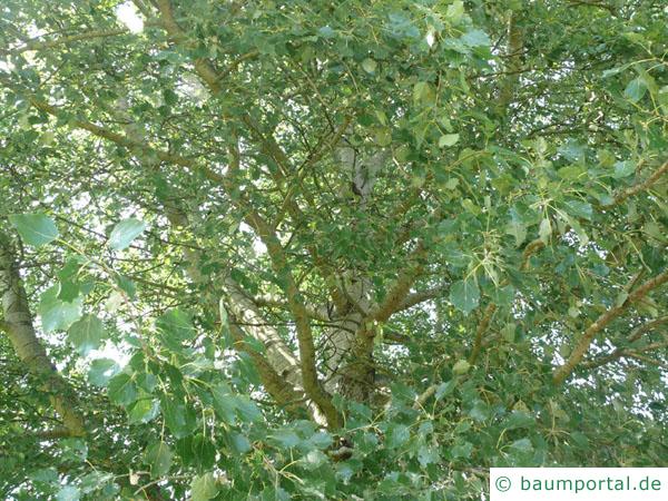 Grau-Pappel (Populus × canescens) Blätter