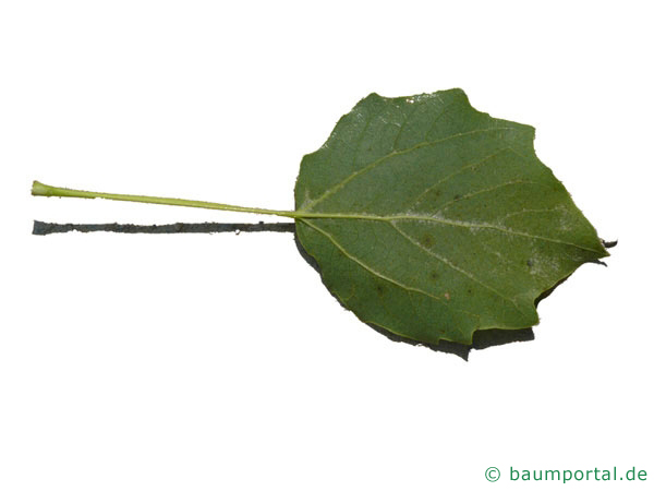 Grau-Pappel (Populus × canescens) Blattunterseite