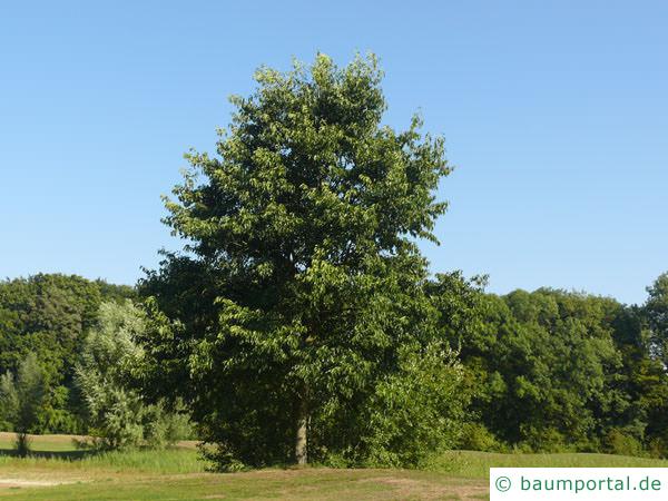 großblättrige Erle (Alnus spaethii) Baum