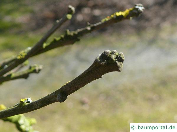 Großfruchtige Eiche (Quercus macrocarpa) Knospe