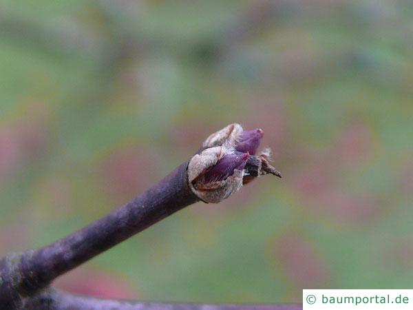 grüner Fächer-Ahorn (Acer palmatum 'Ozakazuki') Knospe