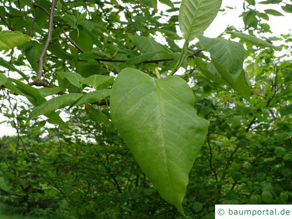 Gurken-Magnolie (Magnolia acuminata) Blätter