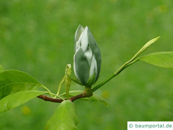 Gurken-Magnolie (Magnolia acuminata) Blüte