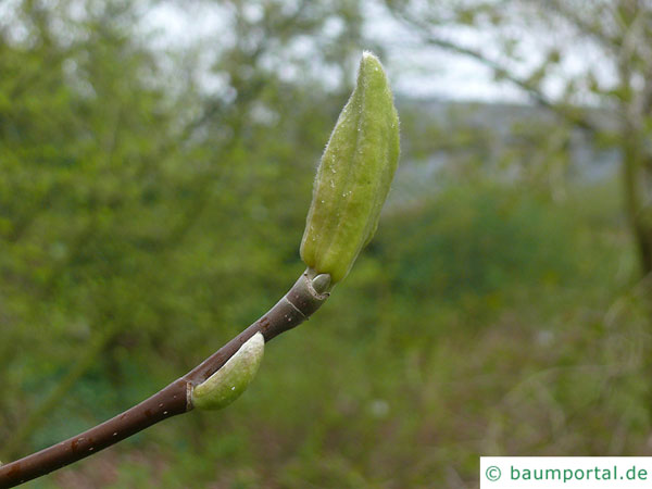 Gurken-Magnolie (Magnolia acuminata) Endknospe
