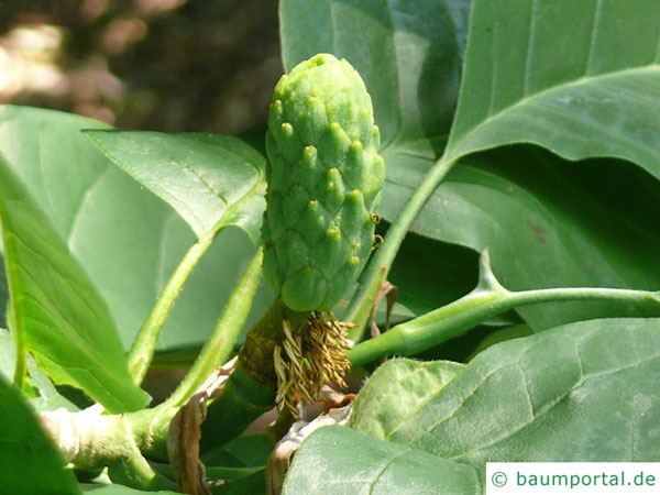 Gurken-Magnolie (Magnolia acuminata) Fruchtansatz
