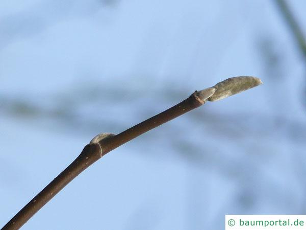 Gurken-Magnolie (Magnolia acuminata) Endknospe im Winter