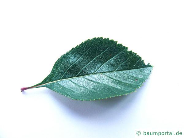 Hahnendorn (Crataegus crus-galli) Blatt