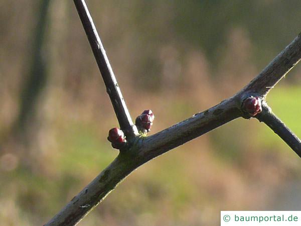 Hahnendorn (Crataegus crus-galli) Knospen Dorn