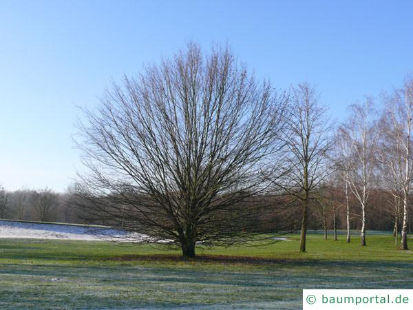 Hainbuche (Carpinus betulus) Baum im Winter