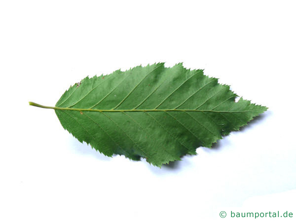 Hainbuche (Carpinus betulus) Blattunterseite