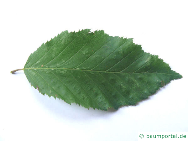 Hainbuche (Carpinus betulus) Blatt