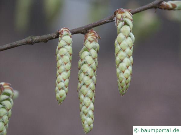 Hainbuche (Carpinus betulus) Blüte