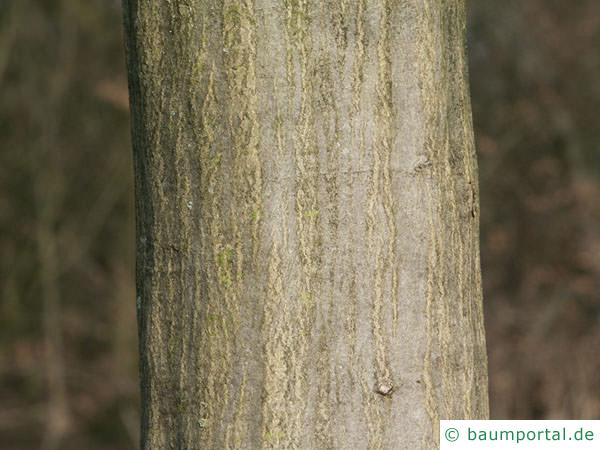 Hainbuche (Carpinus betulus) Stamm / Rinde / Borke