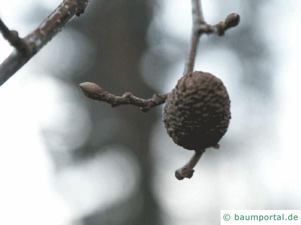 herzblättrige Erle (Alnus cordata) Zweig und Frucht