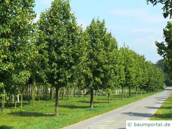 holländische Linde (Tilia intermedia) Baum