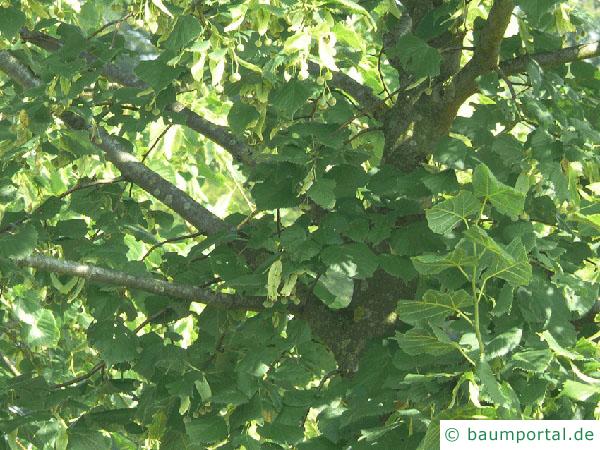 holländische Linde (Tilia intermedia) Blätter