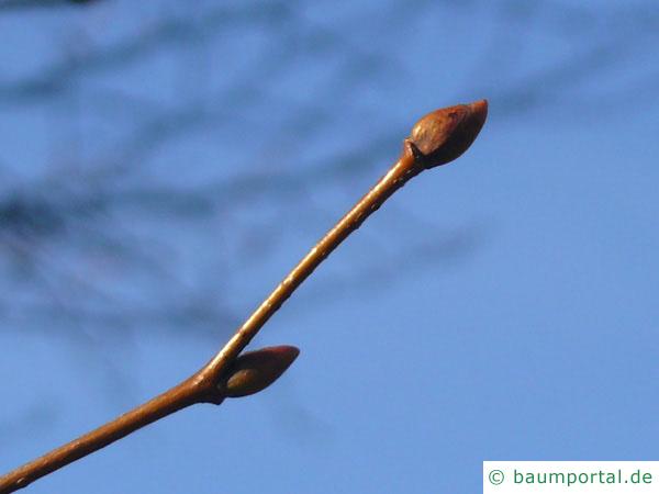 holländische Linde (Tilia intermedia) Endknospe