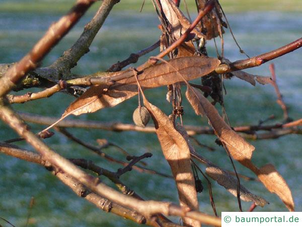 holländische Linde (Tilia intermedia) Frucht im Winter