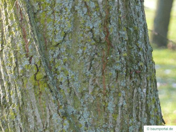 Holländische Ulme (Ulmus hollandica) Stamm einer älteren Ulme