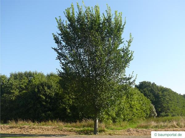 Holländische Ulme (Ulmus hollandica) Baum im Sommer