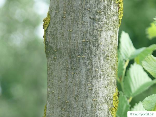 Holländische Ulme (Ulmus hollandica) junger Stamm