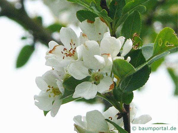 Holz-Apfel (Malus sylvestris) Blüte