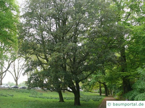 Immergrüne Eiche (Quercus turneri 'Pseudoturneri') Baum