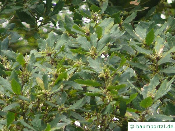 Immergrüne Eiche (Quercus turneri 'Pseudoturneri') Blätter