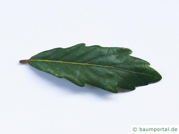 Immergrüne Eiche (Quercus turneri 'Pseudoturneri') Blatt