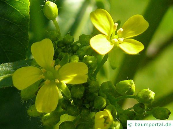kalifornische Kastanie (Aesculus californica) Blüte-2