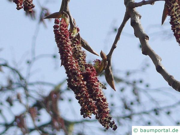kanadische Pappel (Populus canadensis) Blüte